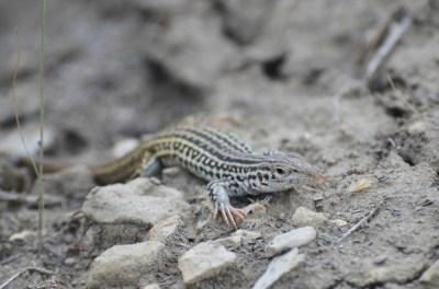 Checkered-whiptail-lizard-Wayne-D-Lewis-DSC_0335