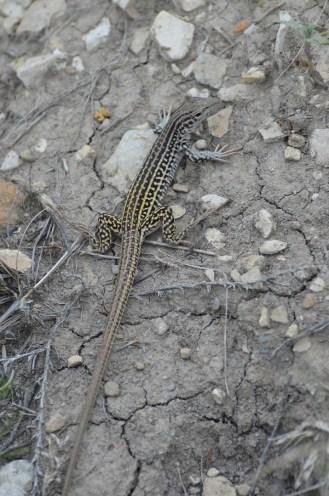 Checkered-whiptail-lizard-Wayne-D-Lewis-DSC_0339