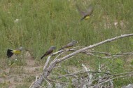 Kingbirds-Wayne-D-Lewis-DSC_0271
