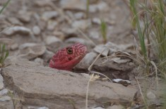 Red-Coachwhip-snake-Wayne-D-Lewis-DSC_0235