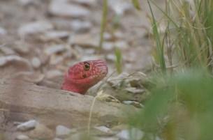 Red-Coachwhip-snake-Wayne-D-Lewis-DSC_0252