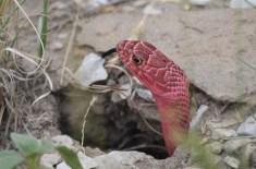 Red-Coachwhip-snake-Wayne-D-Lewis-DSC_0279