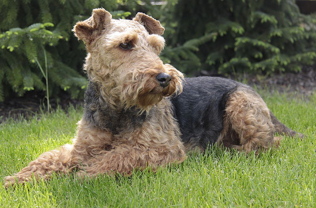 The Beautiful Welsh Terrier