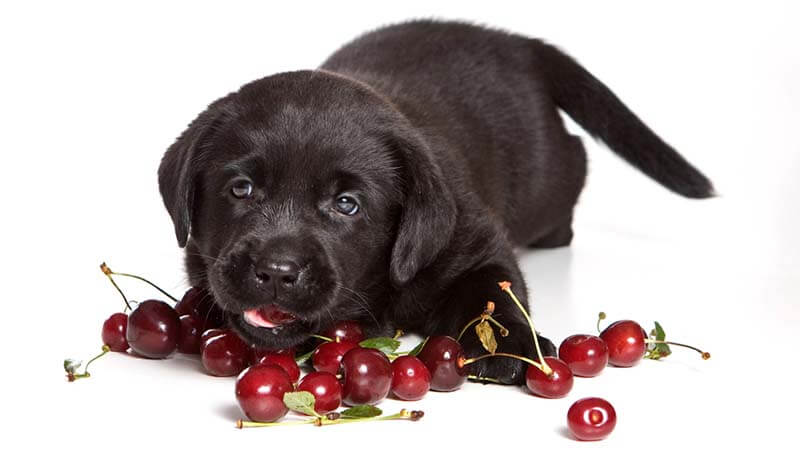 Can Dog Eat Cherries
