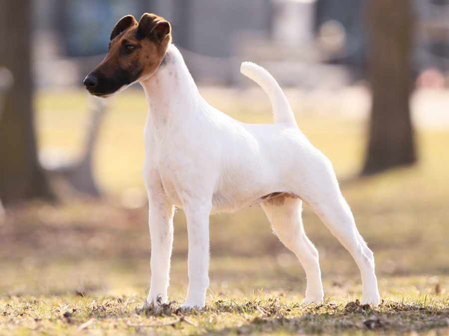 Smooth Fox Terrier Breeds