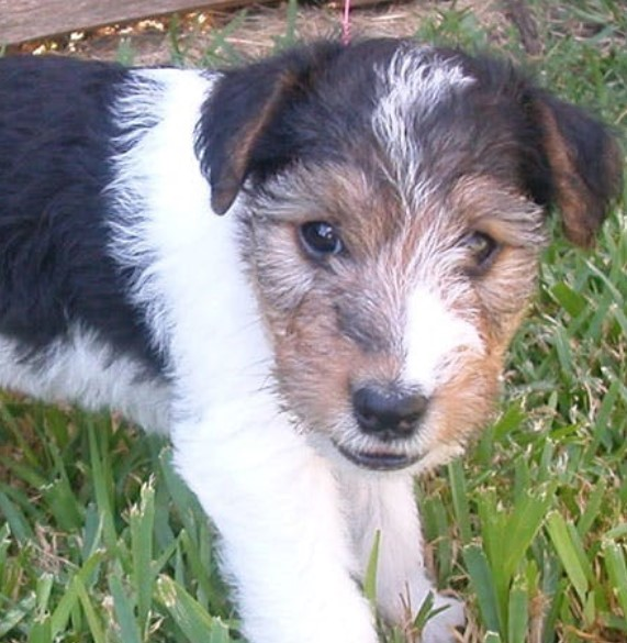 The Ratzer Terrier breed