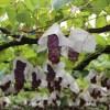 岡崎駒立のブドウ狩りを最大限楽しむ方法!ヤマサ園は予約なしで一日食べ放題が満喫できた
