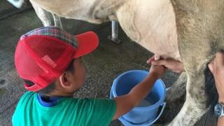 牛の乳しぼり