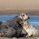 Largest grey seal colony in England to welcome 4,000-strong baby boom