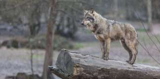 Wolves To Be Reintroduced To Colorado After Historic Public Vote