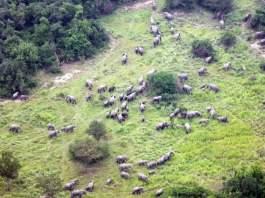 Herd opportunity: Hundreds of elephants return to DRC's Virunga