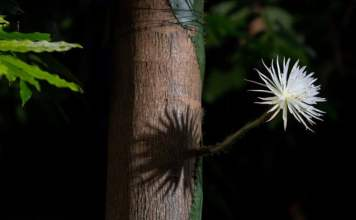 Rare Amazonian cactus flowers for first time in UK