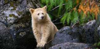 The Success of Spirit Bear Lodge: How a Remote, Community-led Business Became a Global Model for Ecotourism