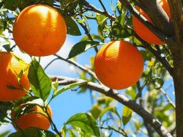 Seville's plan to turn oranges into electricity