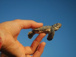 Turtle conservation hits the SPOT in North Cyprus
