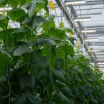 News Lighting LEDs raise light levels and yields for BC grower