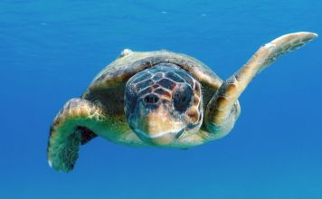 Turtles complete seemingly impossible journey thanks to a hidden 'corridor' through the Pacific
