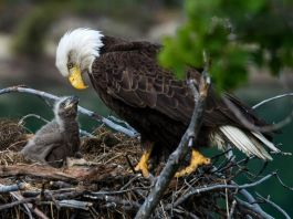 America's Bald Eagle Population Has Quadrupled Since 2009, Government Report Finds