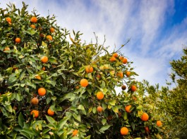 How Plant 'Vaccines' Could Save Us From a World Without Fruit