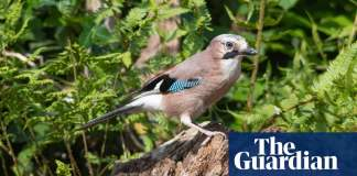 Half the trees in two new English woodlands planted by jays, study finds