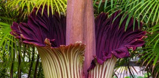 What's the Big Stink About Corpse Flowers?