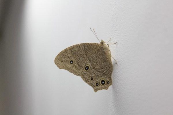 家の中などで見かける黒い蛾の種類と名前まとめ!
