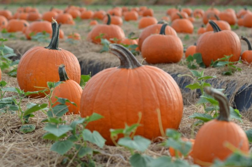 Favorite Pumpkin Patches in South Florida