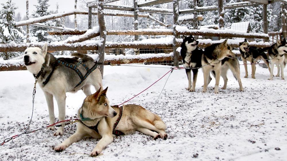 Happy-Fox-Arctic-Husky-Adventure-huskies