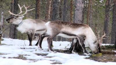 Happy-Fox-Christamas-is-coming-reindeers kopio