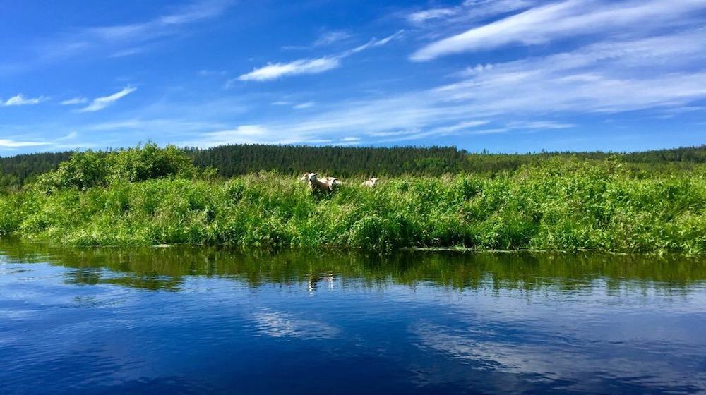 Happy-Fox-Fishing-Trip-Ounasjoki-river-sheeps