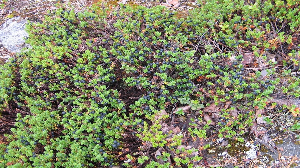 Happy-Fox-Goods-of-the-Forest-crowberry