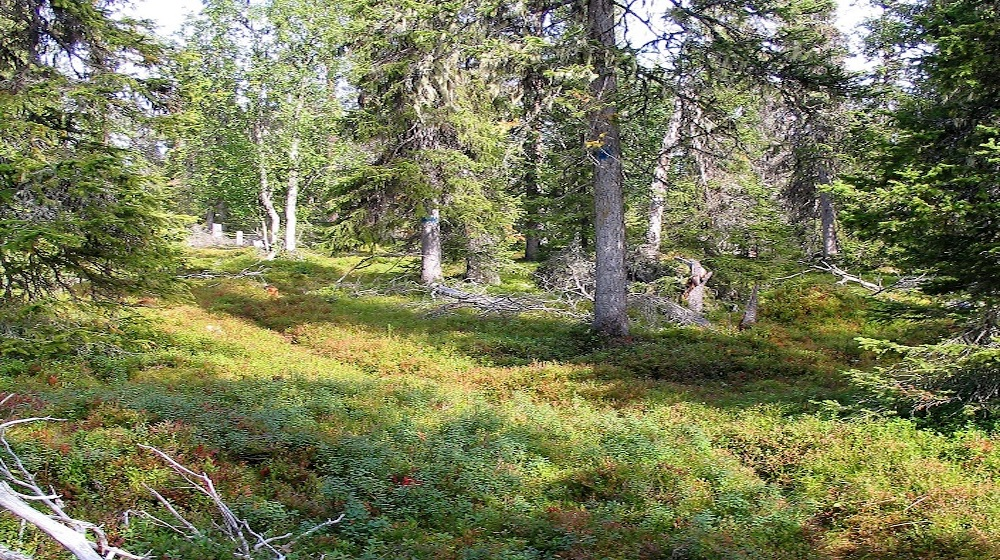 Happy-Fox-Goods-of-the-Forest-pine-forest-low