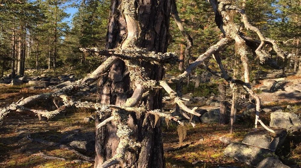 Happy-Fox-Magic-of-the-Forest-Magic-pine