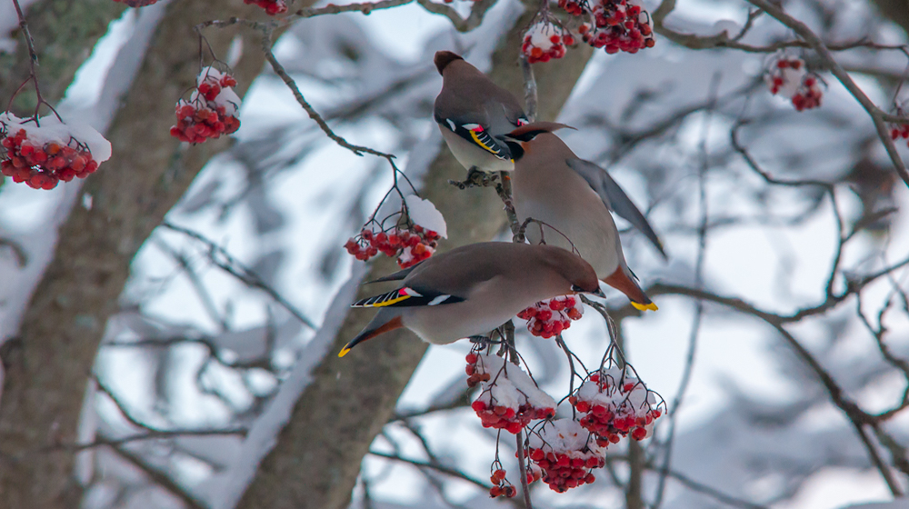 Happy-Fox-aurora-and-nature-photography-adventure-waxwing
