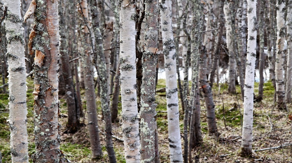 Happy-Fox-Magic-of-the-Forest-and-log-sauna-autumn-birch-forest