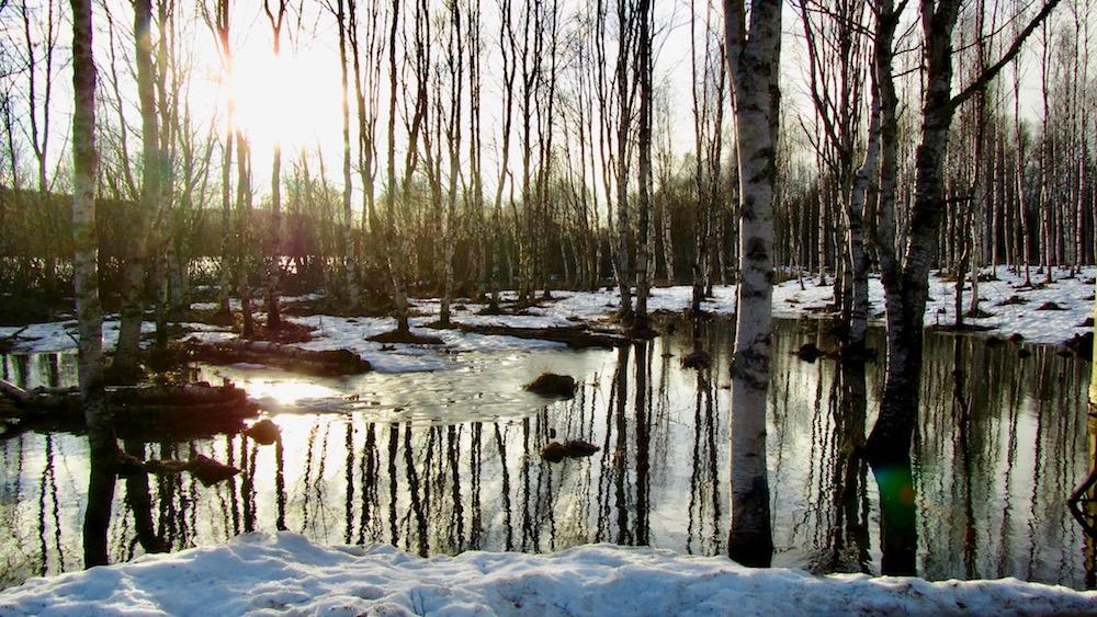 Happy-Fox-Arctic-Nature-Awakens-flood-forest-p