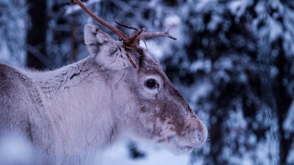 Happy-Fox-Arctic-Reindeer-Adventure-reindeer-p