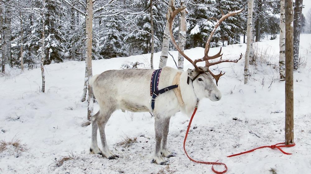 Happy-Fox-Arctic-Reindeer-Adventure-white-reindeer