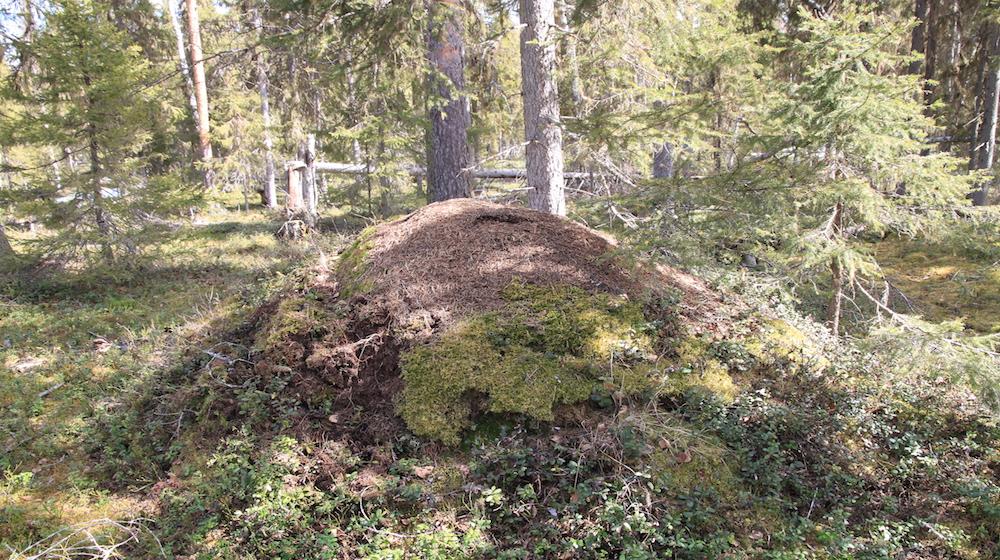 Happy-Fox-Nature-Awakens-ant-nest