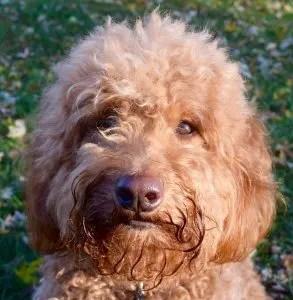 Red goldendoodle dog's face