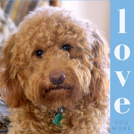 Close-up red goldendoodle dog looking with love quote in blue sidebar