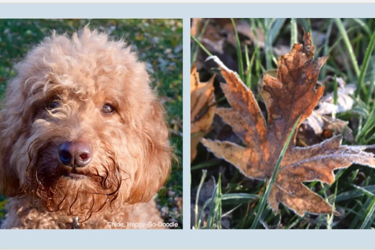 Close-up face of Red goldendoodle dog and close-up of red fall leaf