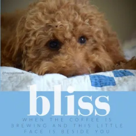Red golden doodle's face with feel-good words about bliss