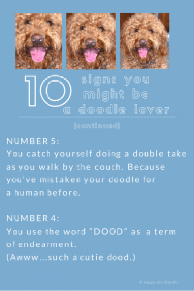 red goldendoodle dog and two reasons you might be a goldendoodle lover