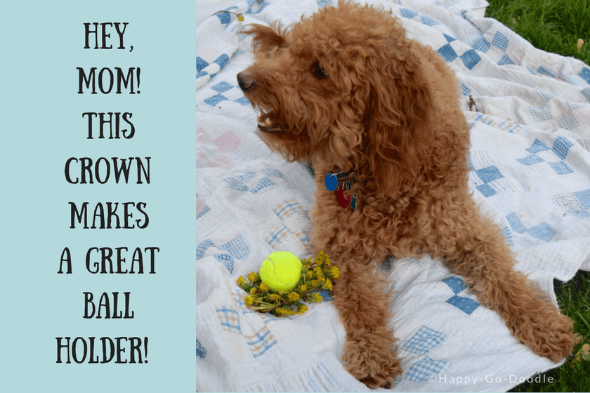 Red goldendoodle dog with tennis ball in yellow dandelion crown and humorous title from a dog's point of view