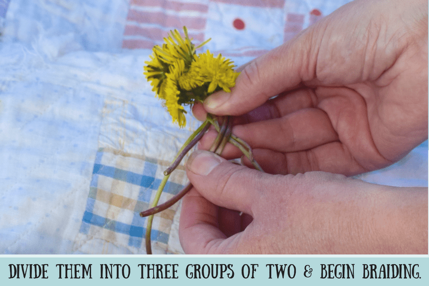 Hands holding six yellow dandelions with stems crossed as the beginning of a dandelion braid and instructional text for dog's crown that says divide stems into three group of two