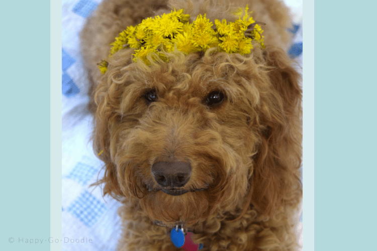 Close-up red goldendoodle dog wearing yellow dandelion crown on vintage quilt