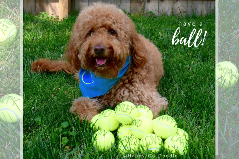 Red goldendoodle dog with blue dog bandana and tennis balls all on grass and title have a ball