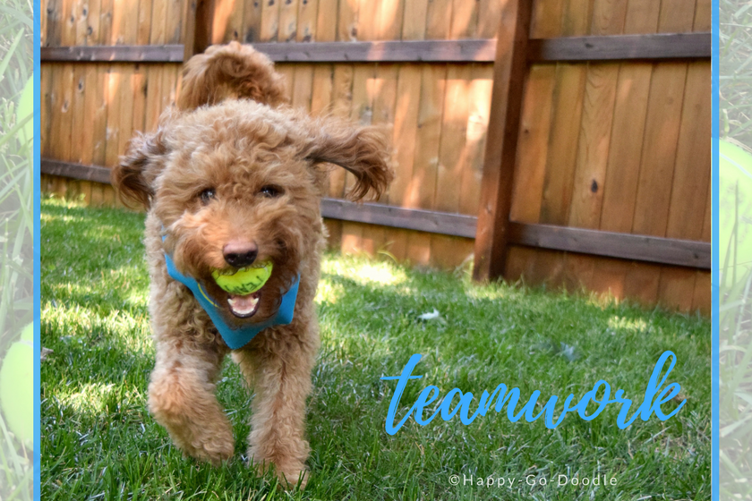 Happy-Go-Doodle Chloe, a red goldendoodle dog wearing a blue dog bandana, runs with yellow tennis ball in dog's mouth and caption teamwork
