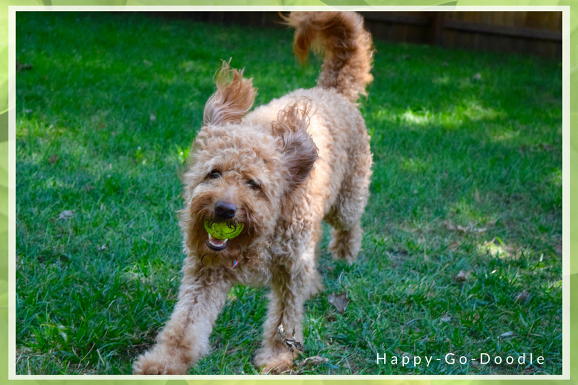 A happy goldendoodle returns a yellow tennis ball